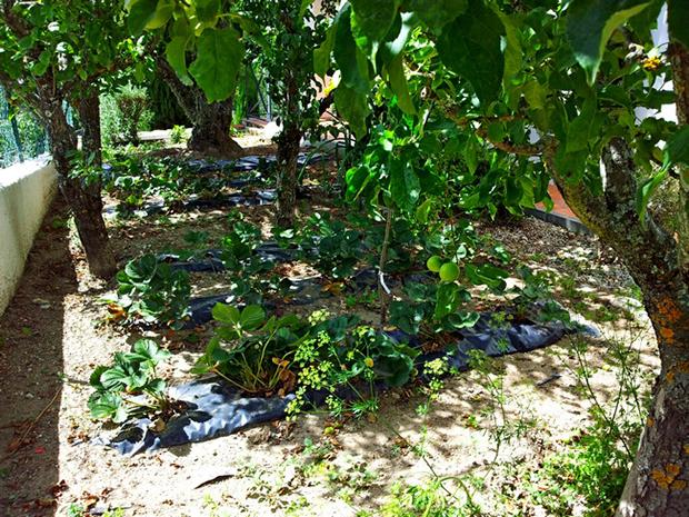 camas de morangueiros