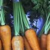 Quando plantar cenouras?