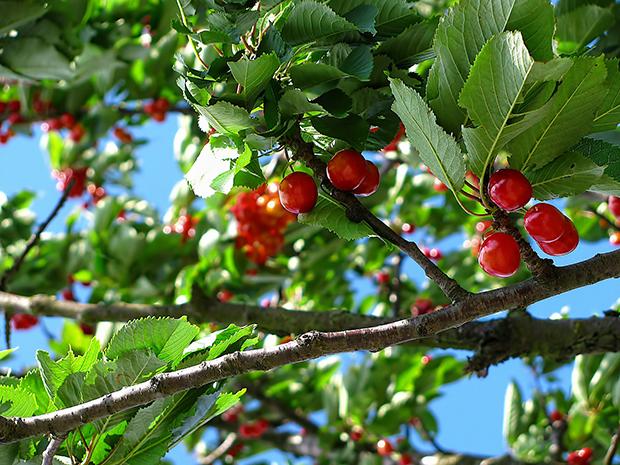 cherry-212601_1920