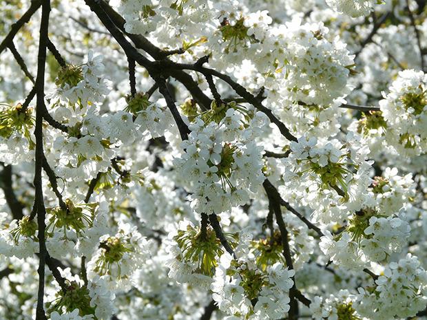 cherry-blossom-6877_1920