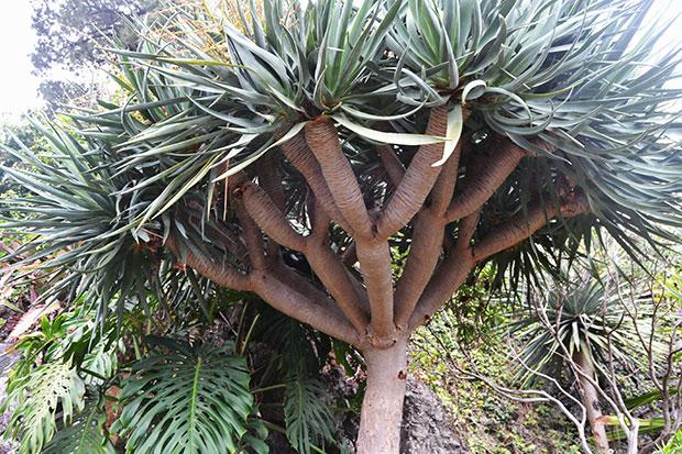 Dracaena dracus no Jardim Botânico do Funchal