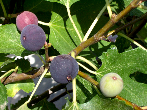 figs-751_640