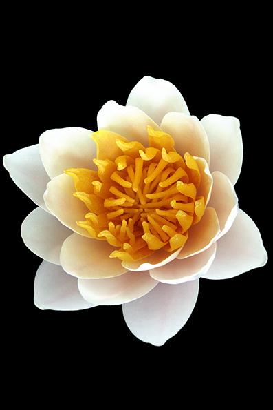 Nymphaea lotus, conhecida popularmente como nenúfar-branco, lótus-branco, lótus-do-egipto, loto-sagrado-do-egito e lótus-sagrado-do-egito, é uma planta aquática com flor pertencente à família Nymphaeaceae. É natural do leste de África e Sudeste asiático, onde tem preferência por águas paradas, límpidas, mornas e ligeiramente ácidas.