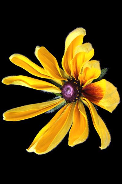 Rudbeckia é um género botânico pertencente à família Asteraceae. Origem América do Norte.