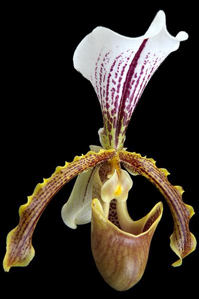 Paphiopedilum insigne é uma espécie de orquídea (Orchidaceae) do Sudeste Asiático. Conhecido pelo nome comum de sapatinho (devido à forma do seu labelo), na Madeira é muito cultivado por motivos culturais e comerciais (mercado interno e exportação), sendo muito utilizado nas decorações típicas de Natal.