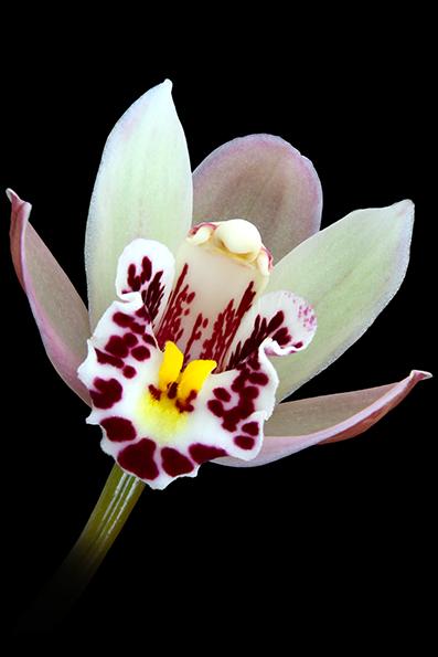 Phalaenopsis, são orquídeas asiáticas não comuns como espécies puras em coleções, sendo a maioria das mais conhecidas híbridos gerados de semente, e depois reproduzidas do caule.