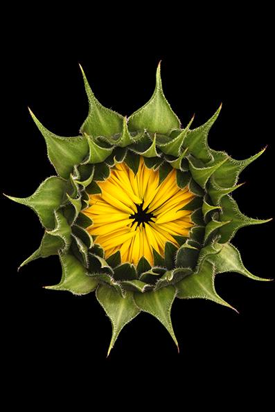 Helianthus annuus - Girassol é um género botânico pertencente à família Asteraceae. Todas são nativas da América do Norte. Entretanto, as espécies Helianthus annuus (girassol) e Helianthus tuberosus(tupinambo) são cultivadas na Europa e em outras partes do mundo.