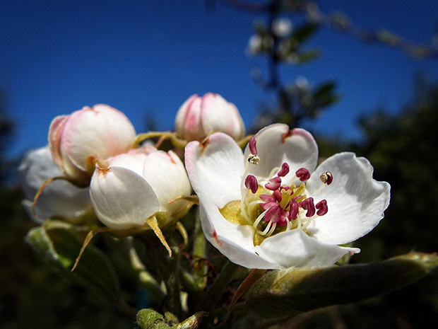 pear-tree-1345859_1920