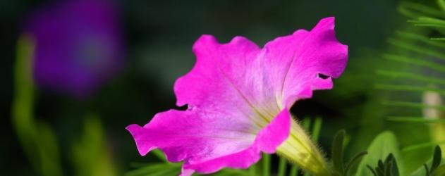 Flores para o ver o pet nia portal do for Petunie inverno