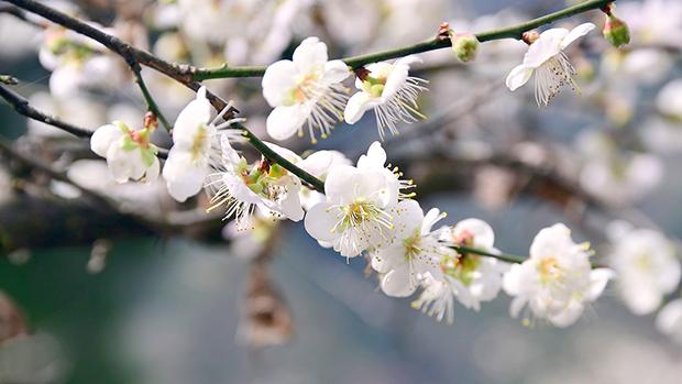 plum-blossom-1219240_1280