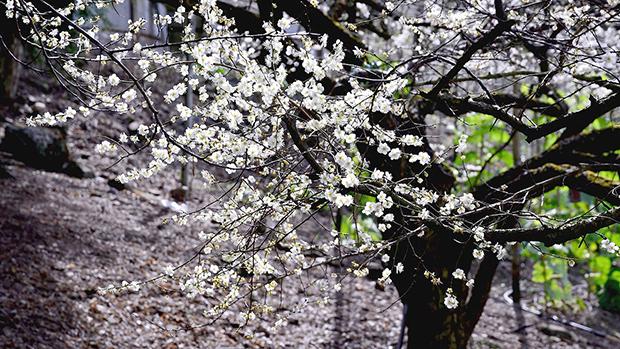 plum-blossom-1219242_1280