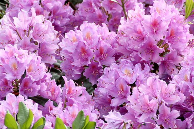 rhododendron-245633_1920