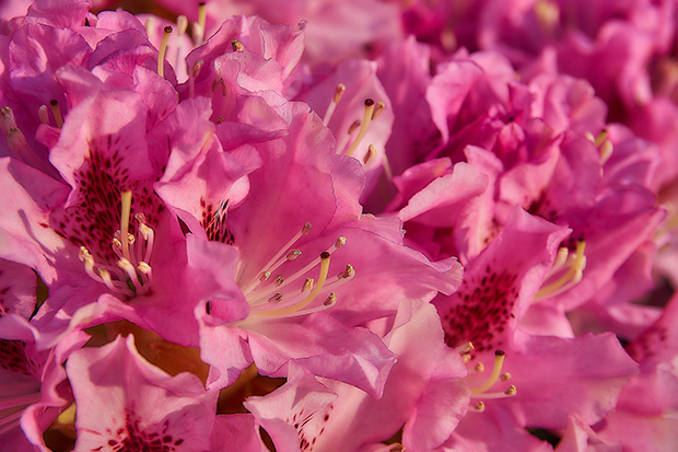 rhododendron-3345479_1920