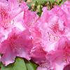 Rododendro, Azálea