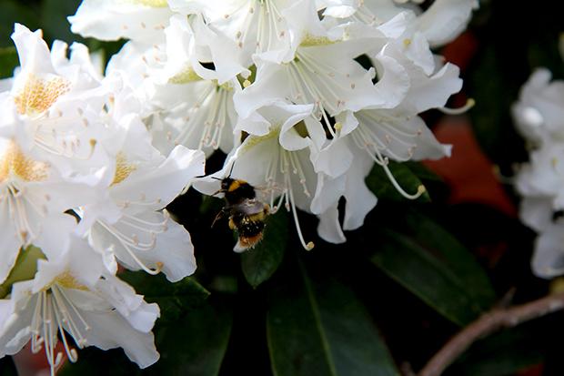 rhododendron-branco
