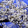 Ameixeira, flores perfumadas na Primavera e frutos doces e suculentos no Verão