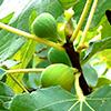 Figueira (Ficus carica), dá um fruto muito rico em sabor
