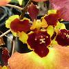 Orquídeas: Descubra as Tolumnia