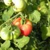 Dicas da Horta: Tomate