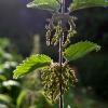 Planta Urtiga Urtica sp Urticácea