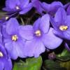 Dica: Regar violetas