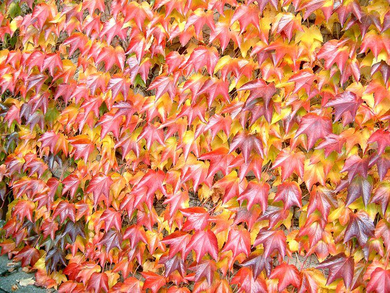 Trepadoras Para Pergolas Prgola Flores De Jasminoides Rosalrosa
